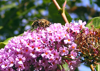 bee-buddleia