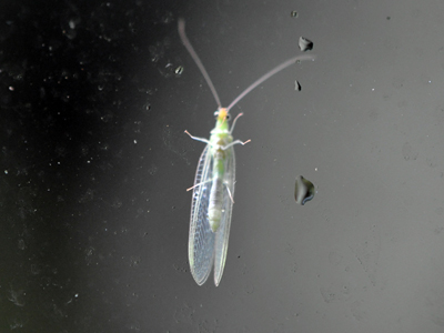 lacewing-sep-2012