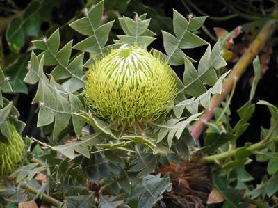 protea-botanic