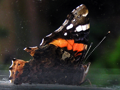 red-admiral-sep-2010