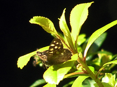 speckled-wood-sep-2010