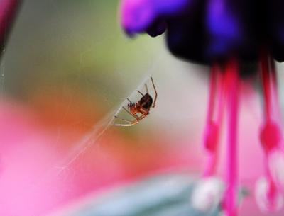 fuchsia-spider