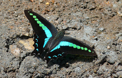 bluebottle-butterfly