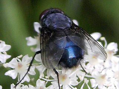 bluebottle-fly-2