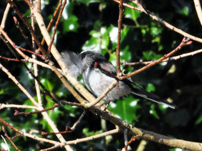 longtailedtit-feather