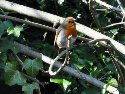 robin-singing