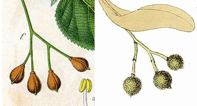 parvifolia-seeds