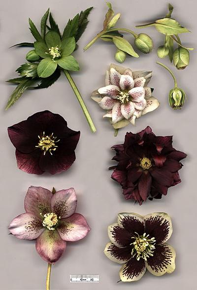 hellebore-flowers
