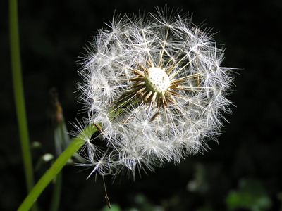 dandelion-clock-01