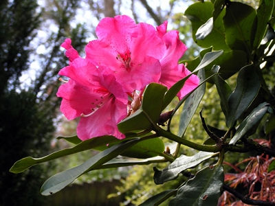 rhododendron-may-03-400