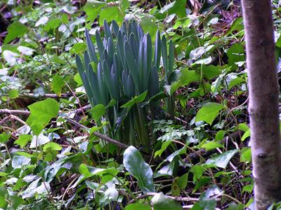 daffodil150214-02