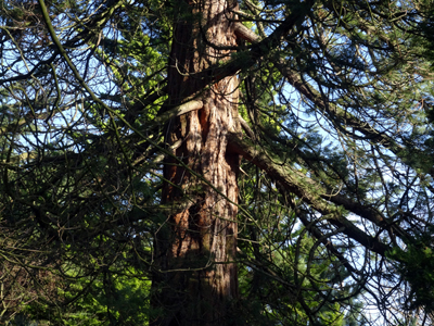 160115-conifer-04