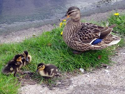 260418-ducklings-02